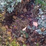 Buchsbaum Sterben