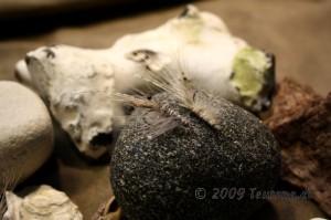 Speyshrimp mit CDC Pale Pardo